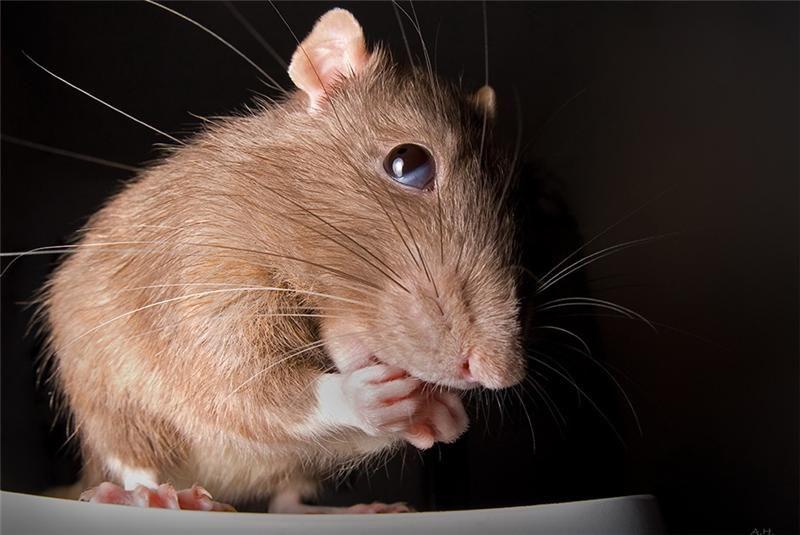 Для, картинки с прикольными крысами