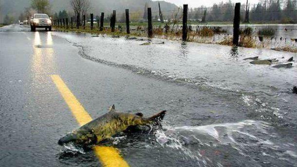 ABŞ-da yola çıxan balıqlar avtomobillərin hərəkətini dayandırdı - VİDEO