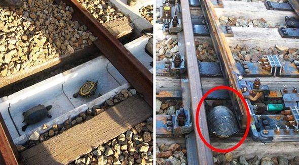 Yaponiyada tısbağa tuneli