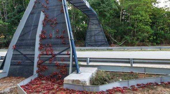 Kristmas adasında xərçəng körpüsü