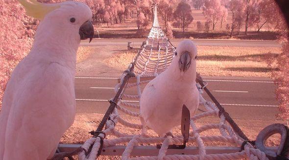 Viktoriyada quşlar üçün ip körpü