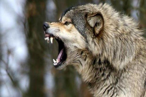 Canavarı vuran kəndli niyə cərimə edilmir?