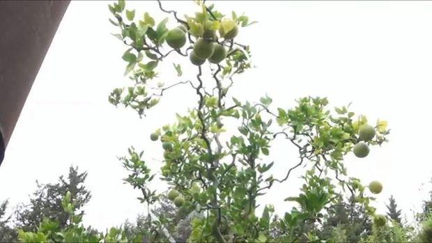 Lənkəranlı bağban bir ağacda yeddi meyvə yetişdirir