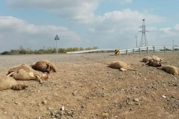 Maşın qoyun sürüsünü vurdu: 10 ölü, 11 yaralı - FOTO