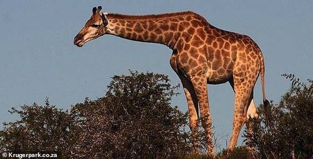 13 turisti daşıyan mikroavtobusun üstünə zürafə düşdü - FOTO