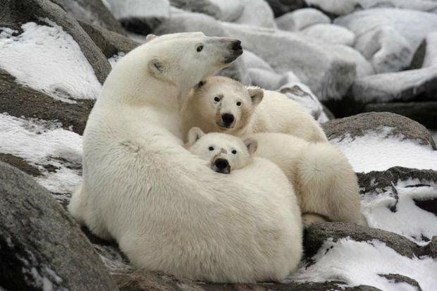 Çukotkada 56 ağ ayı buzların əsiri oldu – VİDEO