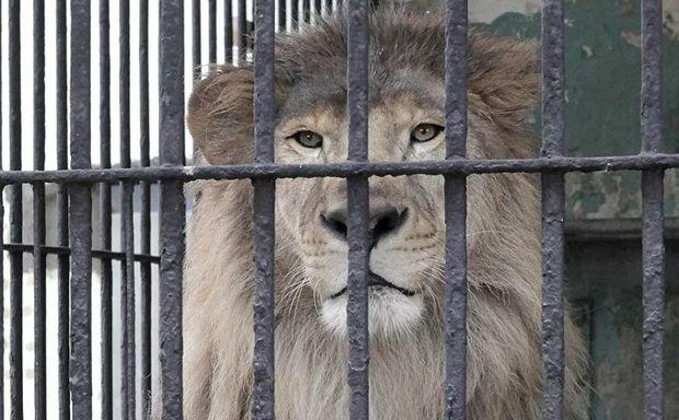 Dəhşətli kadrlar: şir zoopark işçisinin qolunu parçaladı – VİDEO