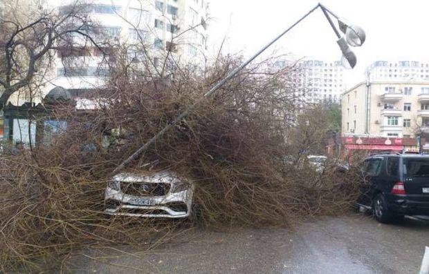 Bakıda ağac lüks avtomobillərin üstünə aşdı: Sahibinin axşam toyu olacaq - VİDEO